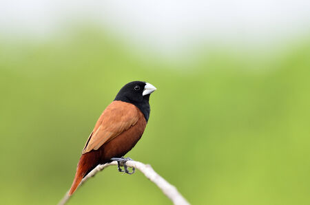 Black-headed Munia sitting on the brach with nice clear green background photo