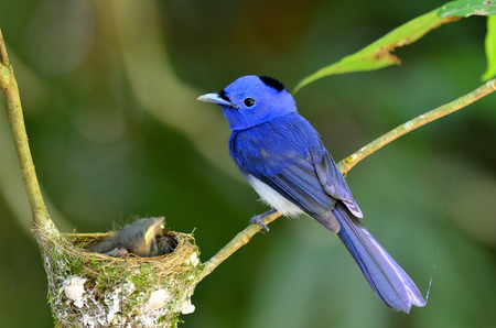 Black-naped Blue Flycatcher or blue flycather, a beautiful blue bird, keep watching its chicks in the nest