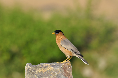 A best shot of Brahminy Starling standing on the rock photo