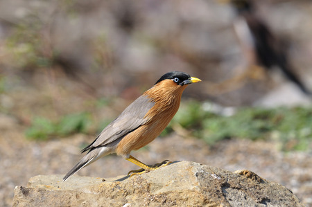 Brahminy Starling is a rare bird in Thailand uncommon to meet photo