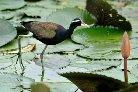 jacana: Bronze-winged jacana standing on lotus leaf in the pond with very long legs above water
