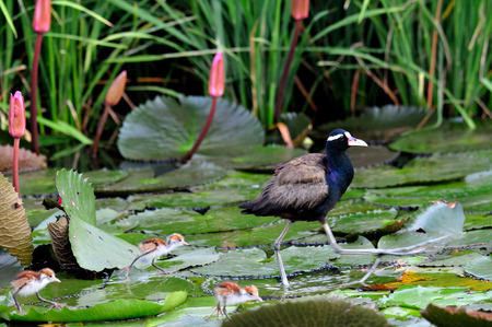 jacana: A Bronzed-winged Jacana walking with her chicks on the lotus leave in the pond