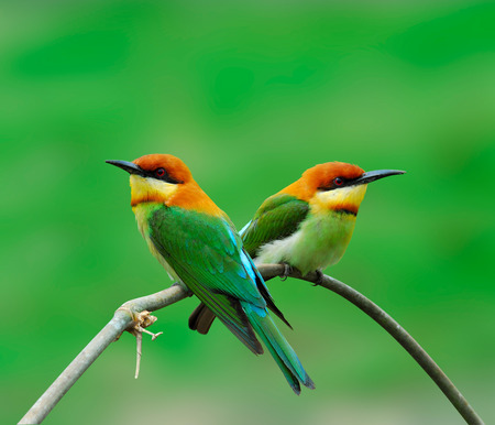 Chestnut-headed bee-eater, orange-headed bee-eater, merops leschenaulti, bird, a sweet pair of bee-eater on nice bamboo branch and green background photo
