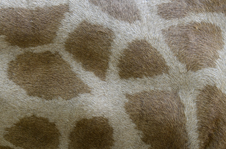 Closeup of Giraffe' skin with nice pattern for background and graphic job photo