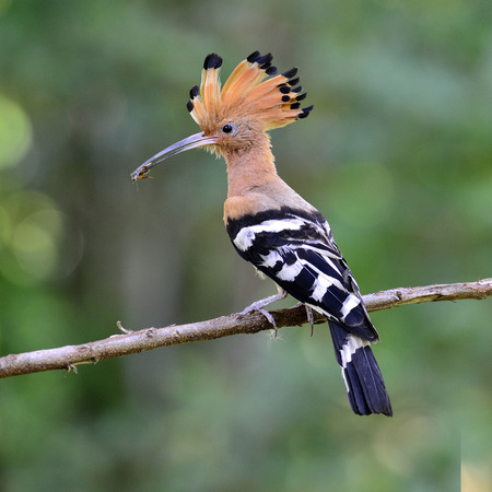 Common Hoopoe or Eurasian Hoopoe bird having insect in mouth for feeding to its chicks in the nest