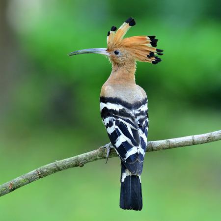 Common Hoopoe or Eurasian Hoopoe bird having show its back feathers with nice details on clear green background