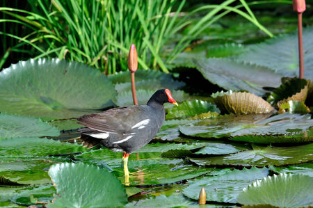 yello: Common Moorhen standing on lotus leafs with lotus flowers