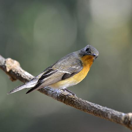 prin: Lindo juvenil Mugimaki Flycatcher con detalles muy agradables en sus plumas, Ficedula mugimaki, aves