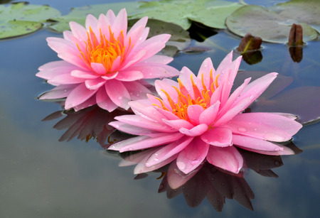 lotus leaf: Doubleof Pink Lotus flowers or Water Lily with blue sky reflection in the water