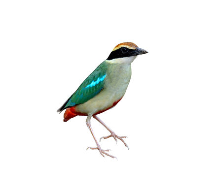 A beautiful standing of Fairy Pitta on isolated white background photo