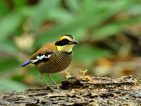 A fine backgound of female Banded Pitta photo