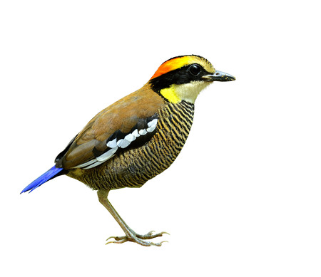 Female of Banded Pitta standing with details from head to toe on isolated white background, bird photo