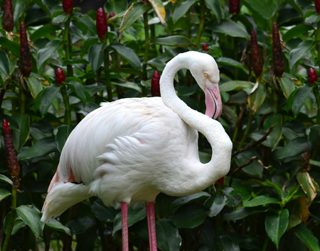 daddy long legs: Greater Flamingo (Phoenicopterus roseus) cleaning its feathers Stock Photo