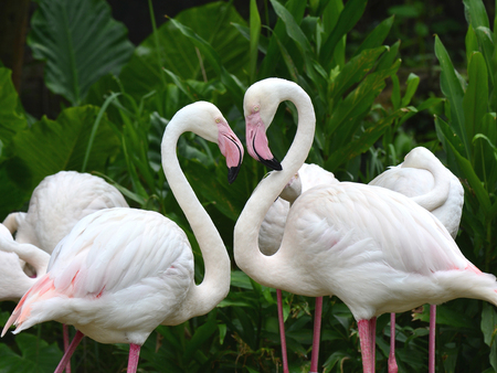daddy long legs: Greater Flamingo (Phoenicopterus roseus) in very romantic heart shapre showing love care Stock Photo