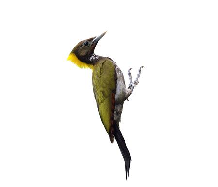 nape: Greater Yellownape, yello-naped woodpecker, picus flavinucha, on isolated white background, bird