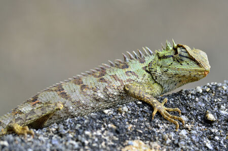 spiny: Green and spiny lizard on the rock