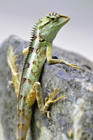 Green crested lizard, Boulenger Long headed Lizard, Pseudocalotes microlepis sitting on the rock
