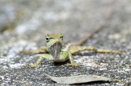 prin: Lagarto con cresta verde, Boulenger largo Lagarto dirigido, microlepis Pseudocalotes con hojas secas en el suelo