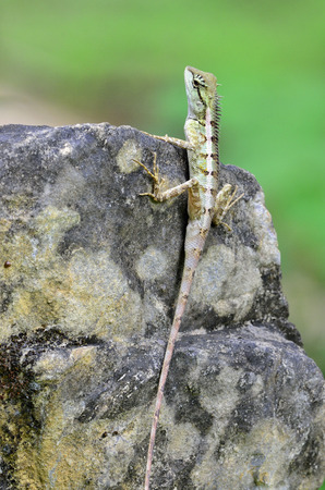 prin: Lagarto con cresta verde, Boulenger largo Lagarto dirigido, microlepis Pseudocalotes, posarse en la roca en el desenfoque de fondo verde