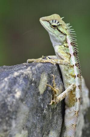 prin: Lagarto con cresta verde, Boulenger largo Lagarto dirigido, microlepis Pseudocalotes, posarse en la roca