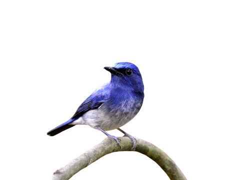 Hainan blue flycatcher, beautiful blue bird, isolated on white background photo