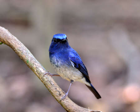 Hainan blue flycatcher bird perching on the branch, lovely blue bird photo