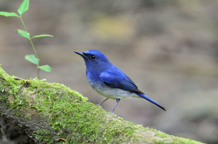 A little Hainan Blue Flycatcher on  a mossy log photo
