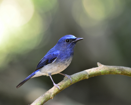 Lovely blue bird, hainan blue flycatcher bird with bokeh background photo