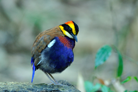 Male of Banded Pitta look so fat in early morning photo