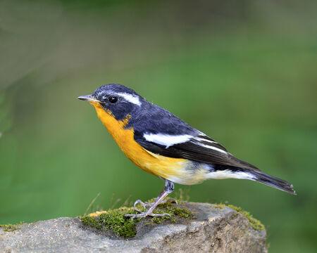 prin: Chico de Mugimaki Flycatcher vientre amarillo ave (Ficedula mugimaki)