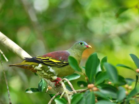 feigenbaum: M�nnlich von Dickschnabel-gr�ne Taube (Treron curvirostra) dicke Rechnung gr�nen Taube auf reife Feigenbaum