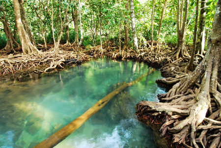 Mangrove forest with roots in clear blue water swamp photo