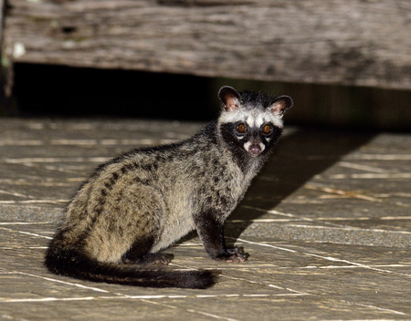 Night shot of Cute Palm Civet sitting in the marble floor