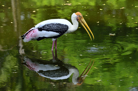 Painted Stork, Mycteria leucocephala, with yellow bills and fishing in the pond with reflexion shadow in water photo