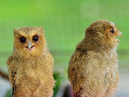 rear end: Pair of Juvenile Brown Owl with lovely eyes
