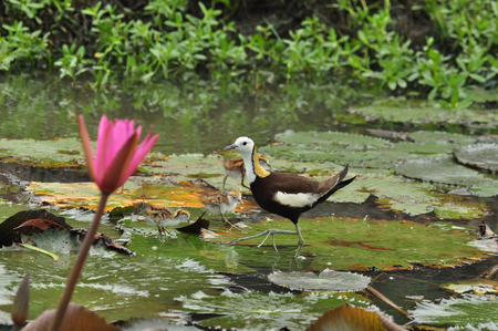 jacana: Pheasant-tailed Jacana taking care of his chicks on the lotus leaf in swamp area