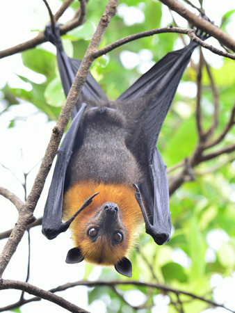 Hanging flying fox on tree branch with eyes opening and looks scarely photo