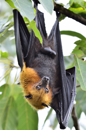 Hanging flying fox waking up while hangs on the tree granch photo