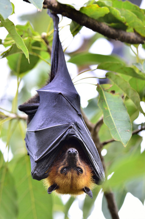 Hanging Lyle's flying fox on the tree branch, Pteropus lylei Stock fotó
