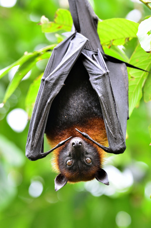Hanging Lyles flying fox, a big bat, on the tree branch (Pteropus lylei)