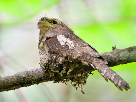 Javan Frogmouth, batrachostomus javensis, hatching eggs on the nest with big eyes, bird, night bird,  photo