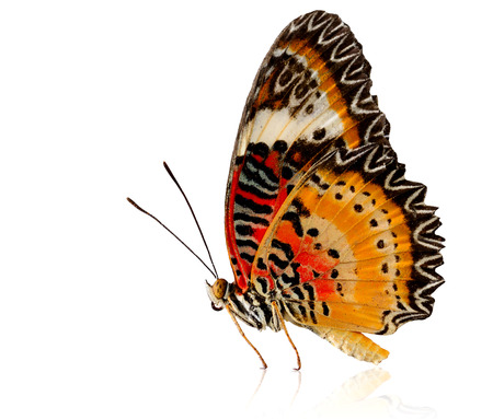 biblis: Leopard Lacewing butterfly in natural color with reflection shadow on white background