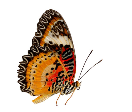 lacewing: Leopard Lacewing butterfly on side profile with natural color on white background