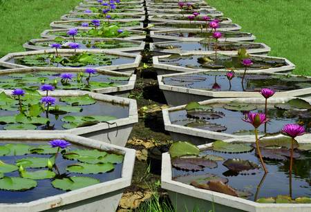 lilia: Line up of pools for Lotus flower plantation in the museam of Thailand