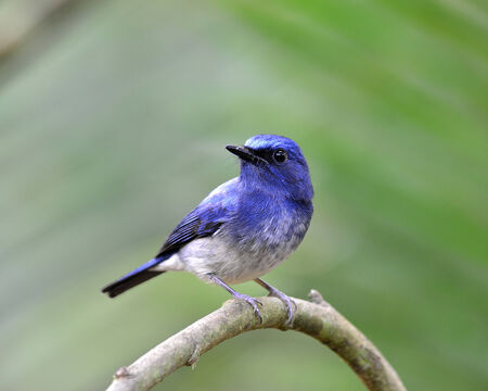Lovely blue bird, hainan blue flycatcher bird with nice blur green background photo