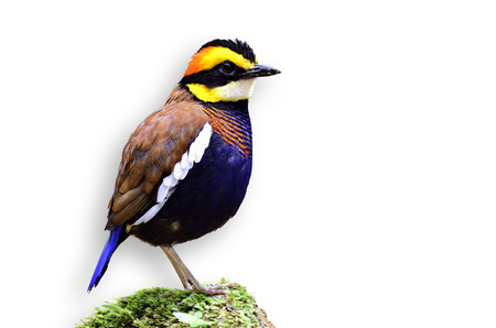 A male of Banded Pitta standing on the mossy rock with isolated white background photo