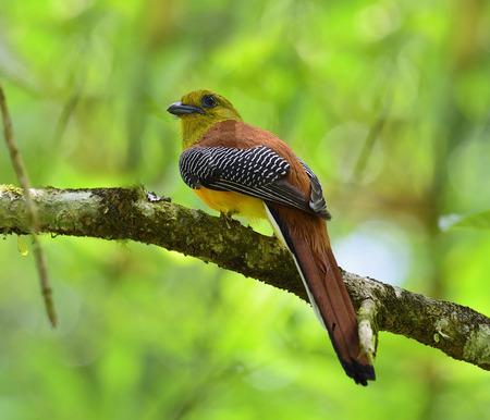 Homme d'Orange-breasted Trogon percing sur la branche avec de jolis détails dos et fond clair, oiseau dans la nature, oreskios Harpactes