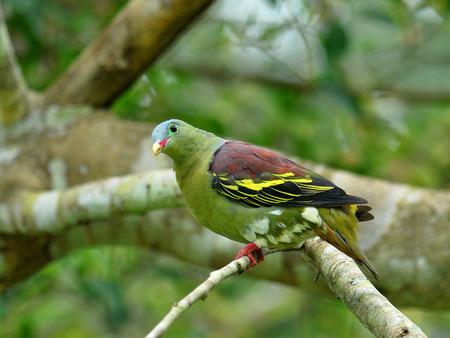 feigenbaum: M�nnlich von Dickschnabel-gr�ne Taube (Treron curvirostra) dicke Rechnung Taube hocken auf gr�nen Feigenbaum Lizenzfreie Bilder