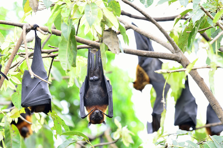 many Hanging flying fox is awaken with open eys while hangs on tree branch with head up side down photo