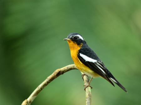 prin: Mugimaki Flycatcher vientre amarillo ave (Ficedula mugimaki) con fondo verde hermoso